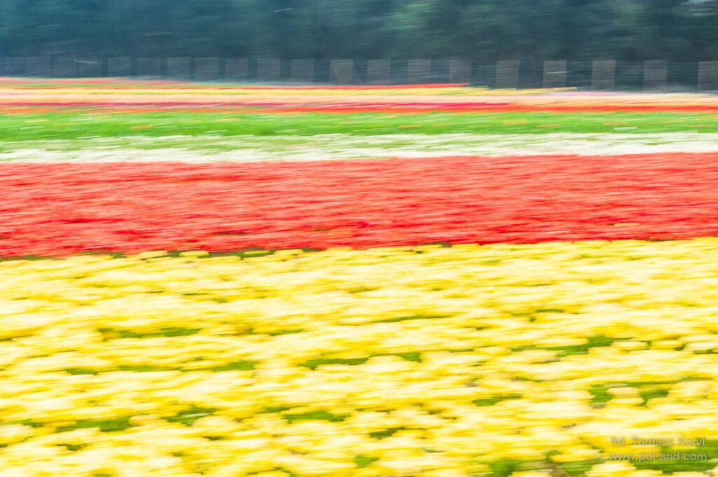 Chrzypsko Tulipany
