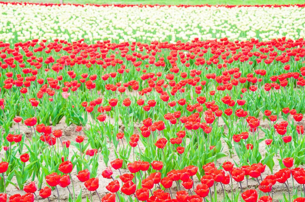 Chrzypsko Tulipany Byliny Cebulki - fot. Tomasz Koryl / www.pol-and.com