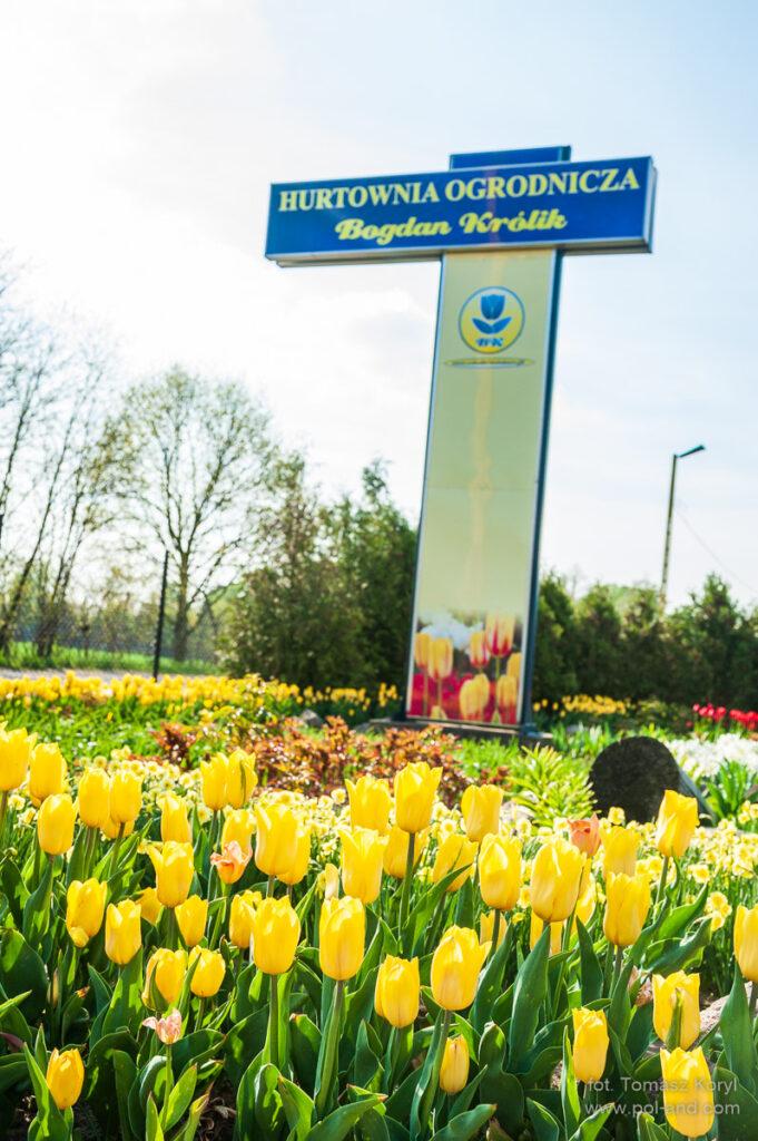 Hurtownia Ogrodnicza Chrzypsko - Tulipany