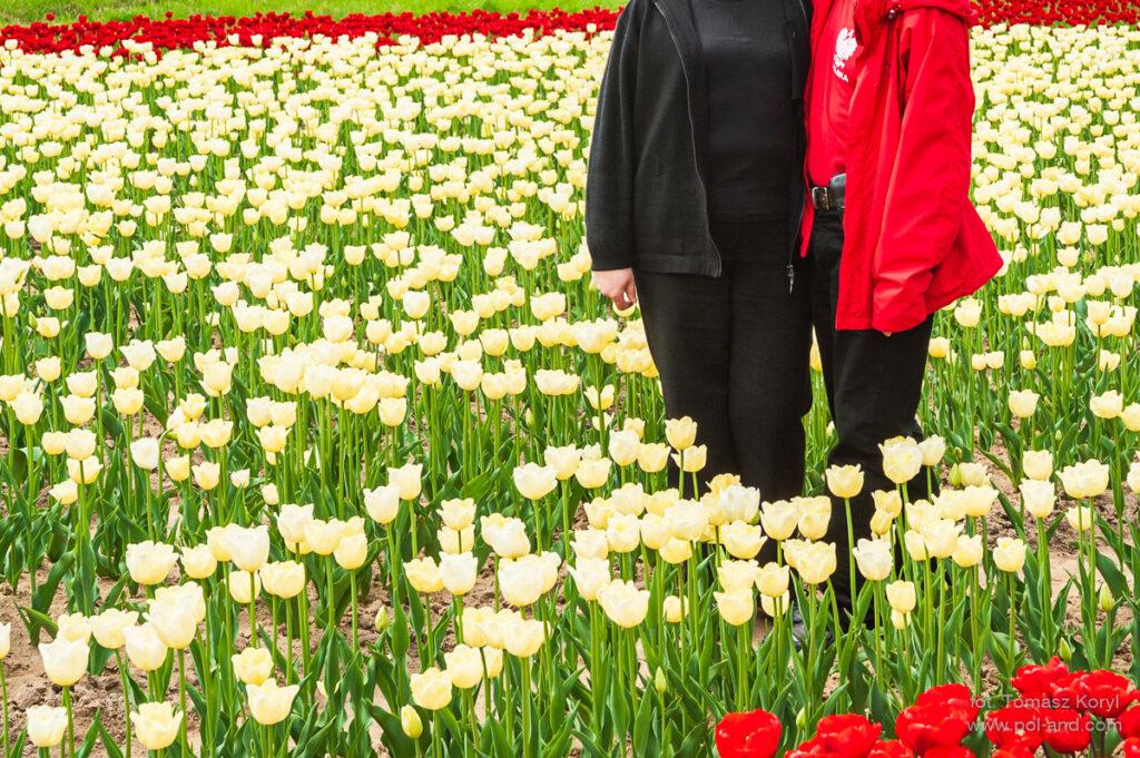 Tulipan Maria Kaczyńska