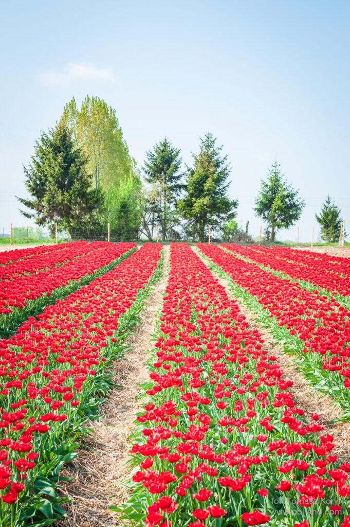 Plantacja tulipanów Chrzypsko Wielkopolska