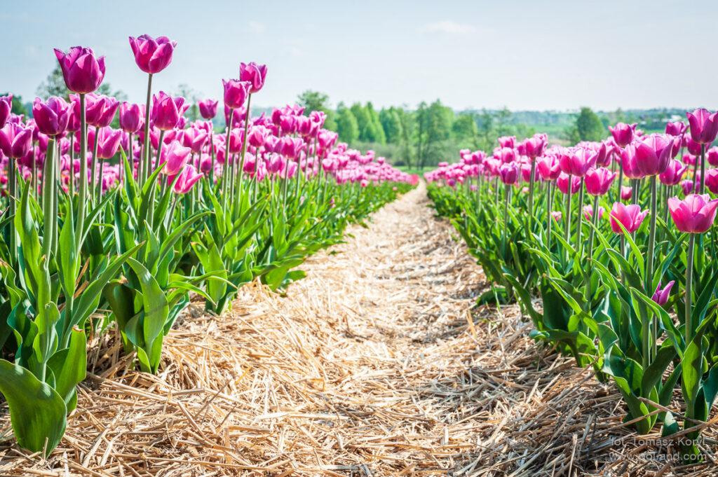 Plantacja tulipanów